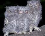 Young screech owls / Audubon Society
